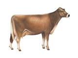 Brown Swiss Cow, Dairy Cattle, Mammals Posters