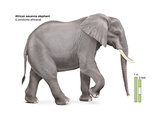 African Savanna Elephant (Loxodonta Africana), Mammals Poster by  Encyclopaedia Britannica
