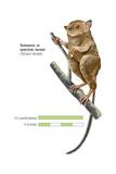 Sulawesi Tarsier or Spectral Tarsier (Tarsius Tarsier), Primate, Mammals Prints
