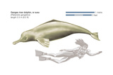 Ganges River Dolphin or Susu (Platanista Gangetica), Mammals Posters by  Encyclopaedia Britannica