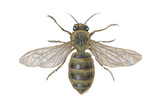 Honeybee (Apis Mellifica), Insects Prints by  Encyclopaedia Britannica