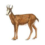 Chamois (Rupicapra Rupicapra), Mammals Billeder af Encyclopaedia Britannica