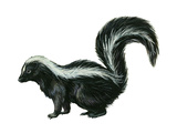 Striped Skunk (Mephitis Mephitis), Mammals Photo by  Encyclopaedia Britannica