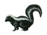 Striped Skunk (Mephitis Mephitis), Mammals Photo