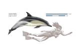 Common Dolphin (Delphinus Delphis), Mammals Poster by  Encyclopaedia Britannica