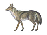 Coyote (Canis Latrans), Mammals Posters by  Encyclopaedia Britannica
