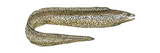 Moray (Gymnothorax Moringa), Fishes Kunstdrucke