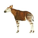 Okapi (Okapi Johnstoni), Mammals Print by  Encyclopaedia Britannica
