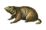 Woodchuck (Marmota Monax), Mammals Prints