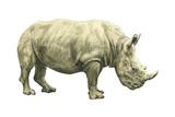 White Rhinoceros (Ceratotherium Simus), Mammals Plakater af Encyclopaedia Britannica