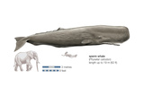 Sperm Whale (Physeter Catodon), Mammals Poster by  Encyclopaedia Britannica