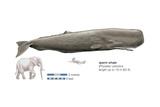 Sperm Whale (Physeter Catodon), Mammals Pôsteres por  Encyclopaedia Britannica