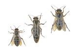 Honeybee Castes (Apis Mellifica), Insects Poster van  Encyclopaedia Britannica