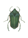 Green June Beetle (Cotinus Nitida), Insects Print by  Encyclopaedia Britannica