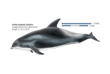 White-Beaked Dolphin (Lagenorhynchus Albirostris), Mammals Posters by  Encyclopaedia Britannica