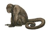 Woolly Monkey (Lagothrix Infumatus), Mammals Prints