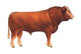Limousin Bull, Beef Cattle, Mammals Poster