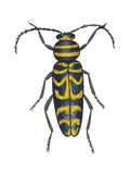 Long-Horned Beetle (Megacyllene Robiniae), Locust Borer, Insects Posters by  Encyclopaedia Britannica