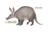 Aardvark or Antbear (Orycteropus Afer), Mammals Prints by  Encyclopaedia Britannica