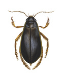 Diving Water Beetle (Dysticus Marginalis), Insects Prints by  Encyclopaedia Britannica