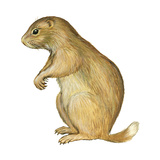 White-Tailed Prairie Dog (Cynomys Gunnisoni), Mammals Prints by  Encyclopaedia Britannica