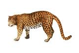 Leopard (Felis Pardus), Mammals Plakat af Encyclopaedia Britannica