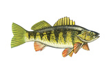 Perch (Perca Flavescens), Fishes Affiches par  Encyclopaedia Britannica