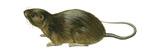 Florida Water Rat (Neofiber Alleni), Mammals Posters