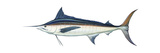 Marlin (Makaira Nigricans), Blue Marlin, Fishes Posters by  Encyclopaedia Britannica