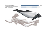 Commerson's Dolphin (Cephalorhynchus Commersonii), Mammals Posters