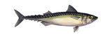 Pacific Mackerel (Scomber Japonicus), Fishes Posters