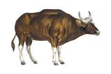 Wild Cattle, Gaur (Bos Gaurus), Mammals Poster by  Encyclopaedia Britannica