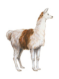 Domestic Llama (Lama Glama), Mammals Plakaty autor Encyclopaedia Britannica