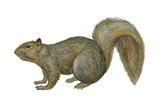 Fox Squirrel (Sciurus Niger), Mammals Print