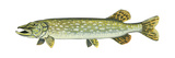 Pike (Esox Lucius), Fishes Posters