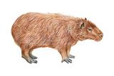Capybara (Hydrochoerus Capybara), Mammals Prints by  Encyclopaedia Britannica