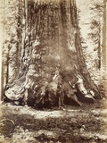 Section of the Grizzly Giant with Galen Clark, Mariposa Grove, Yosemite, 1865-66 Photographic Print by Carleton Emmons Watkins