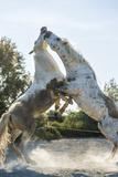 White Horse Stallions Fighting, the Camargue, France Photographic Print by Peter Adams