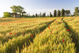 Field of Poppies and Old Abandoned Farmhouse, Tuscany, Italy Photographic Print by Peter Adams