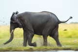 Elephant, Chobe Nat Pk, Botswana, Africa Photographic Print by Peter Adams