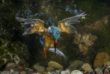 Kingfisher Hunting a Fish Underwater Reproduction photographique par  ClickAlps
