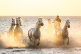 Gardian, Cowboy and Horseman of the Camargue with Running White Horses, Camargue, France Fotografie-Druck von Peter Adams