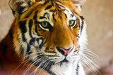 Close-up of a tiger, Bejing Wildlife Park, Beijing, China Photographic Print