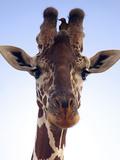 Giraffe Looking at Camera, Tsavo, Kenya, Africa Fotografisk tryk af Neil Thomas