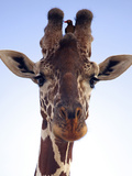 Giraffe Looking at Camera, Tsavo, Kenya, Africa Photographic Print by Neil Thomas