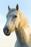 Portrait of White Horses Head, the Camargue, France Photographic Print by Peter Adams