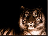 Portrait of Tiger Stretched Canvas Print by  FarzyB