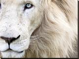 Full Frame Close Up Portrait of a Male White Lion with Blue Eyes.  South Africa. Płótno naciągnięte na blejtram - reprodukcja autor Karine Aigner