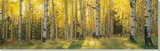 Aspen Trees in Coconino National Forest, Arizona, USA Stretched Canvas Print by  Panoramic Images