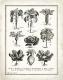 French Cabbage Kunstdruck von Babbitt Gwendolyn